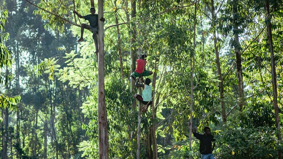 Children climb up trees in western Kenya to keep away from the bulls