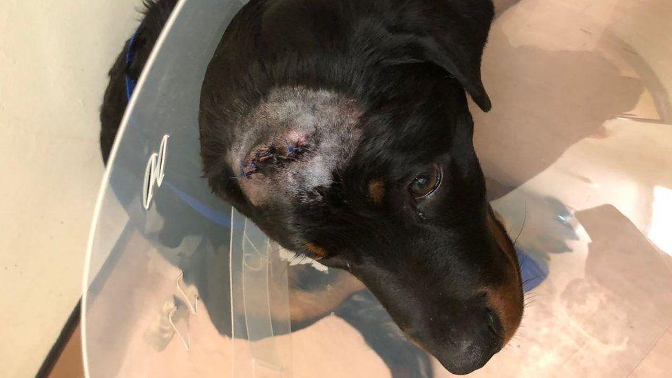 Zeus with stitches