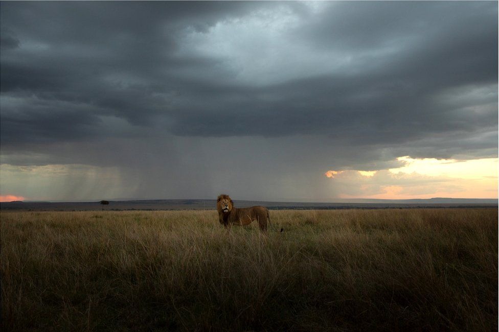 A large lion stands in an African landscape