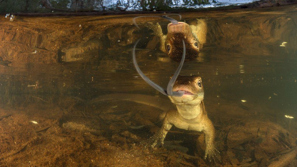 A Mertens' water monitor lizard gazes at its reflection in the photographer's equipment