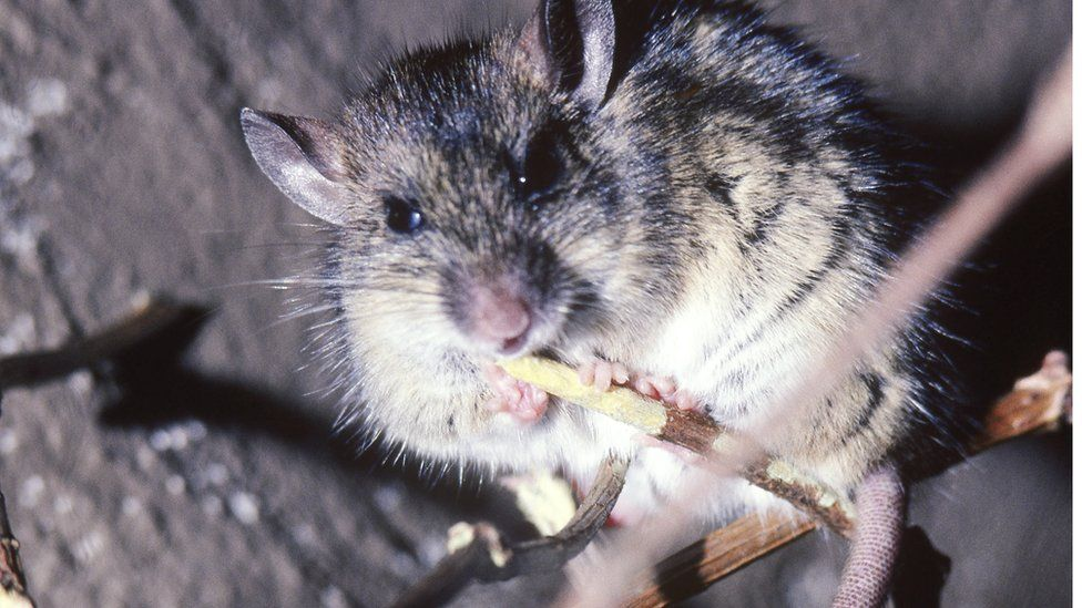 A multimammate rodent