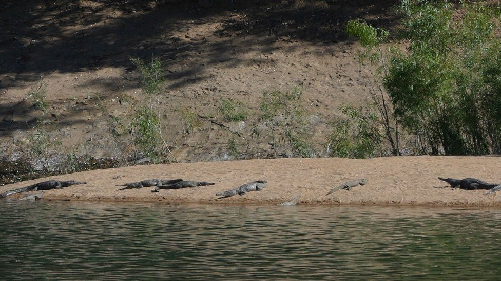 Crocodiles on the banks of the Fitzroy River in Western Australia