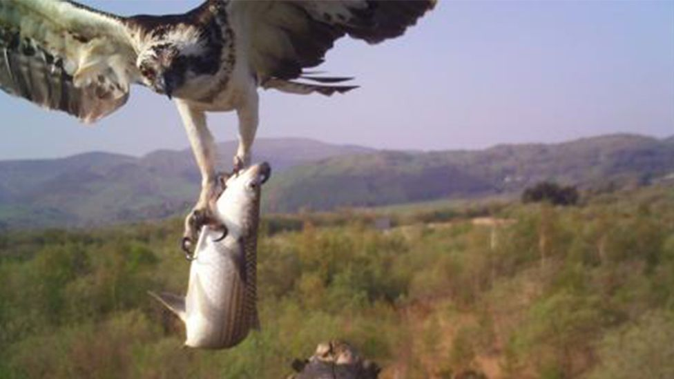 Self-isolating twitchers will soon be able to watch Monty the osprey through a live feed