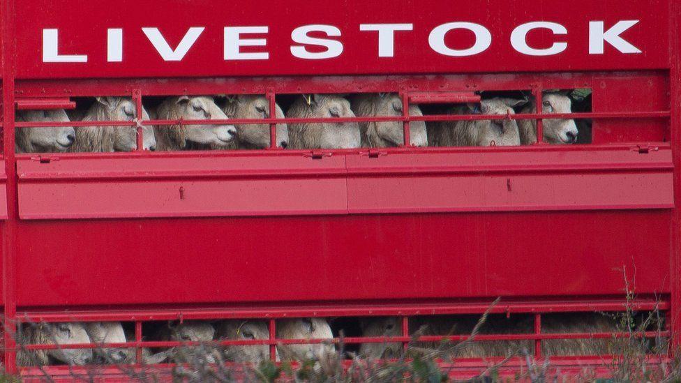 sheep in lorry