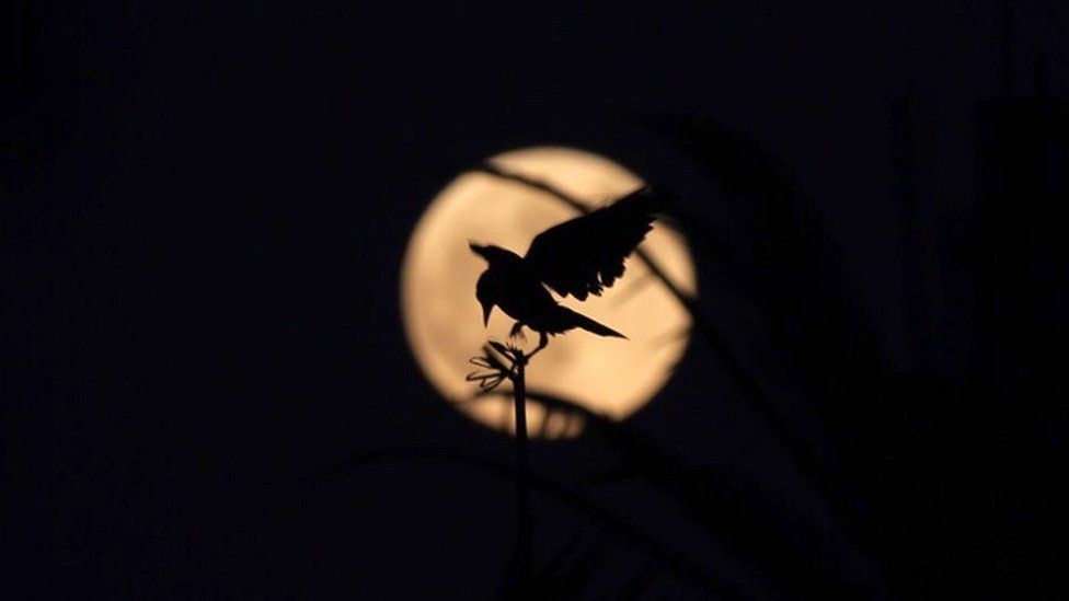 A picture taken in Cairo's Al-Azhar Park shows a bird silhouetted against a golden moon