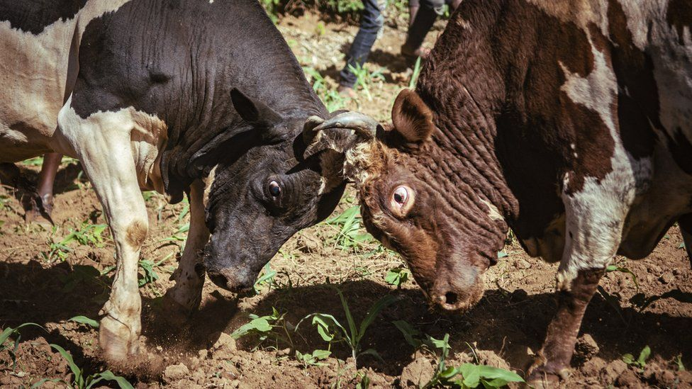Bulls fighting - head-to-head - in western Kenya