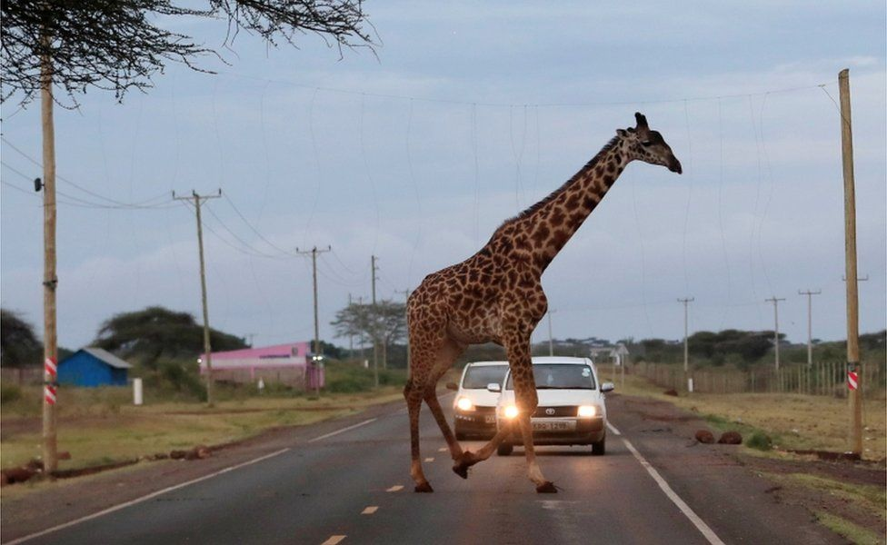 A giraffe crosses a road laced with an electric fences.