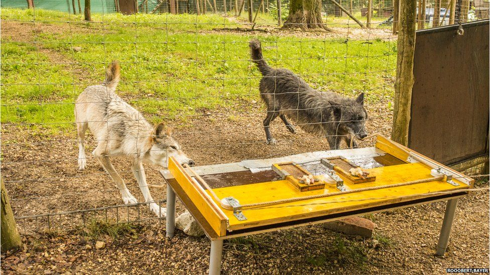 Study reveals the wolf within your pet dog - BBC News