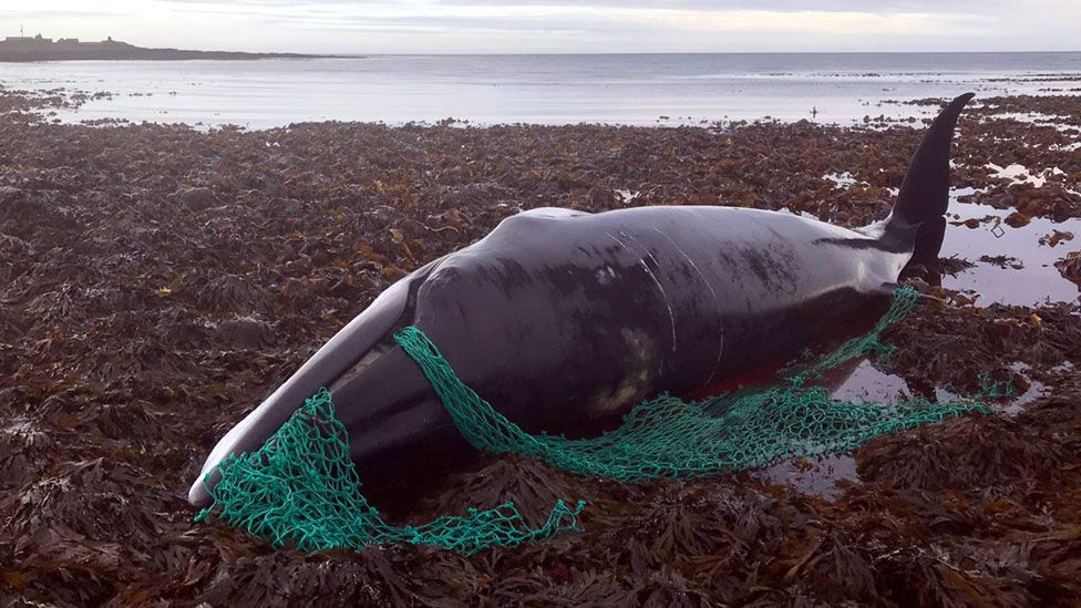 Pregnant whale found tangled in 'ghost gear' in Orkney