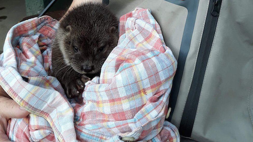 Kirkintilloch angler rescues otter cub in Inverness