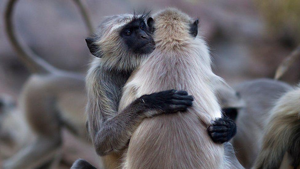 Langur females hugging (c) Anup Shah/SPL