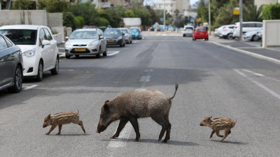 Wild boar in Haifa, Israel
