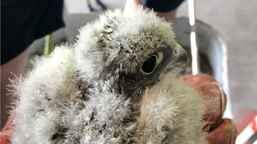 One of the rescued kestrel chicks