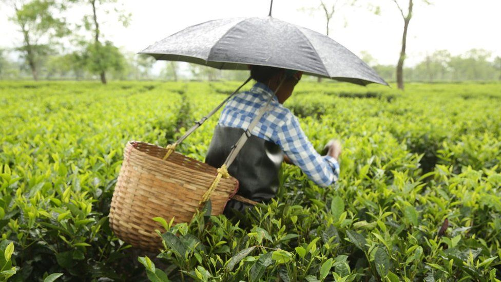 Woman working in a tea plantation