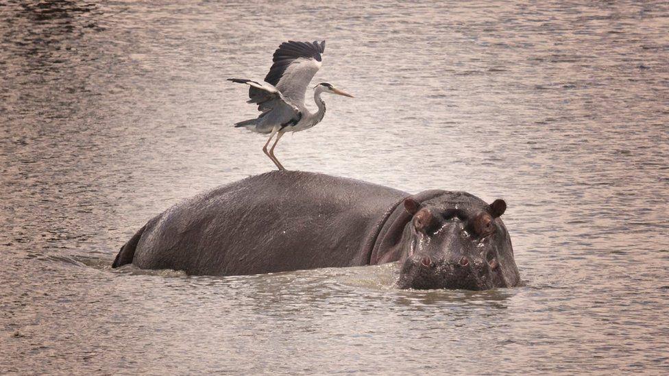 Heron on a hippo