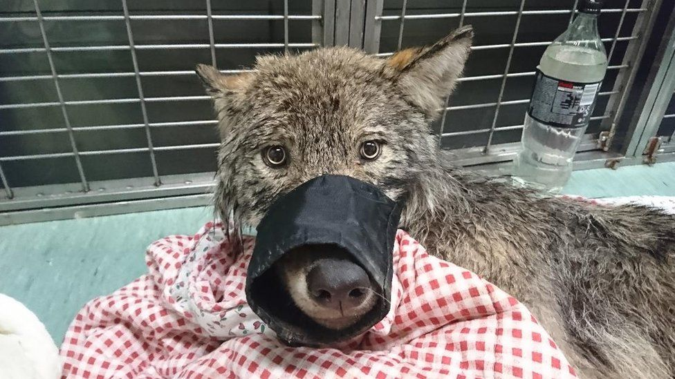 A grey wolf stares straight into the camera with a muzzle on its snout, lying on the floor of a vet's office
