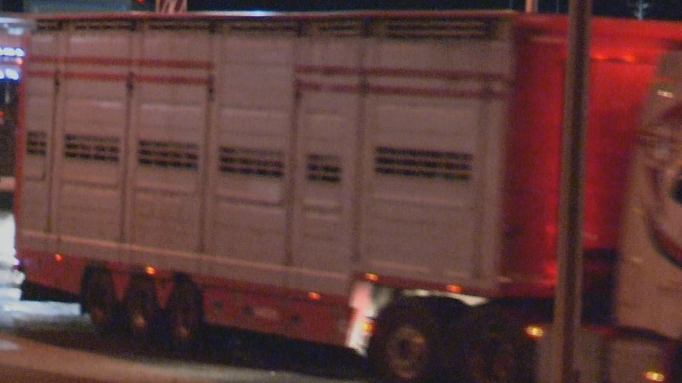 Calves in lorry