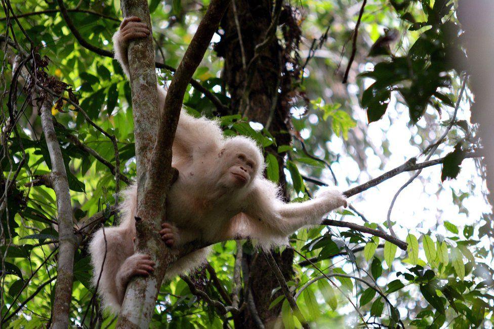 Orangutan Alba