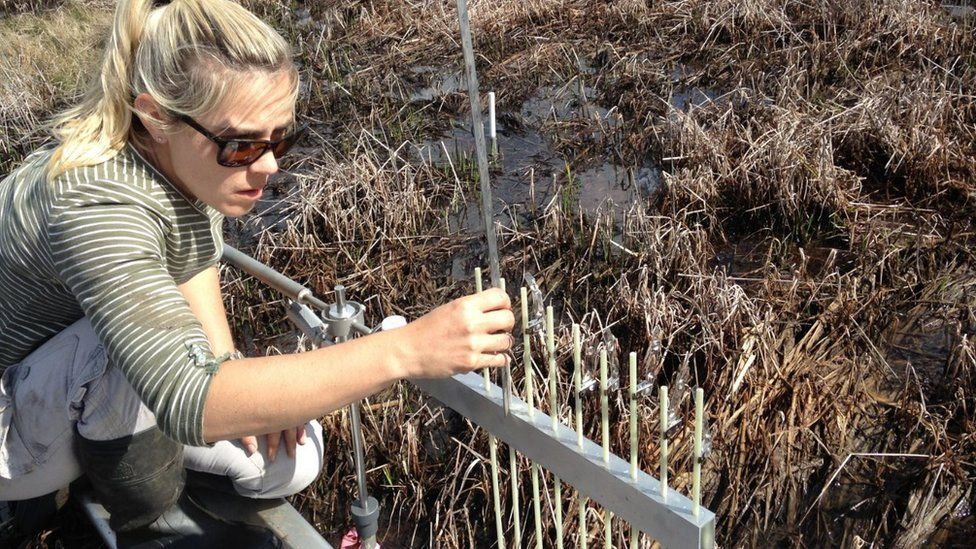 Prof Kerrylee Rogers from the University of Wollongong working in a tidal salt marsh in Tomago, New South Wales