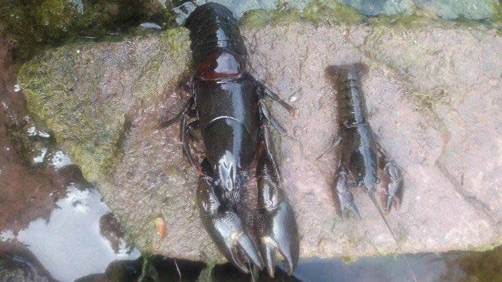 Two dead crayfish