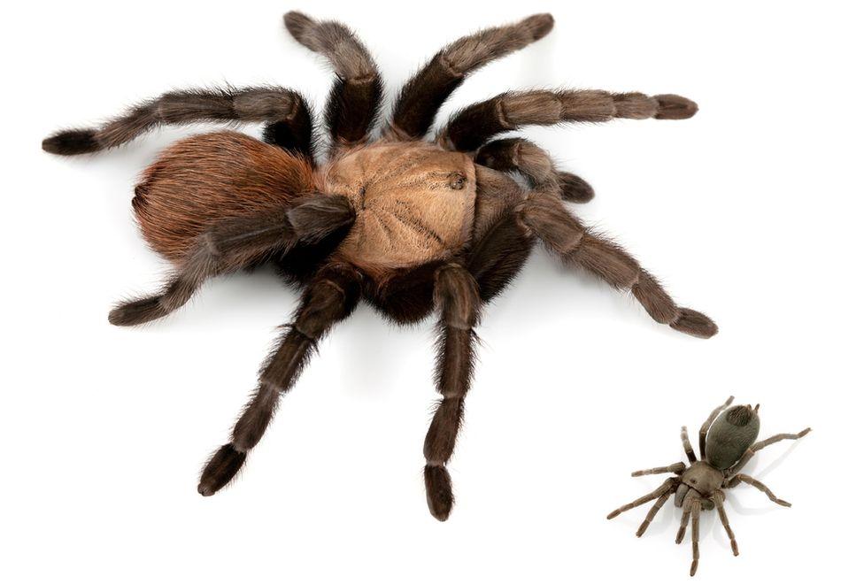 Very small and very large tarantula