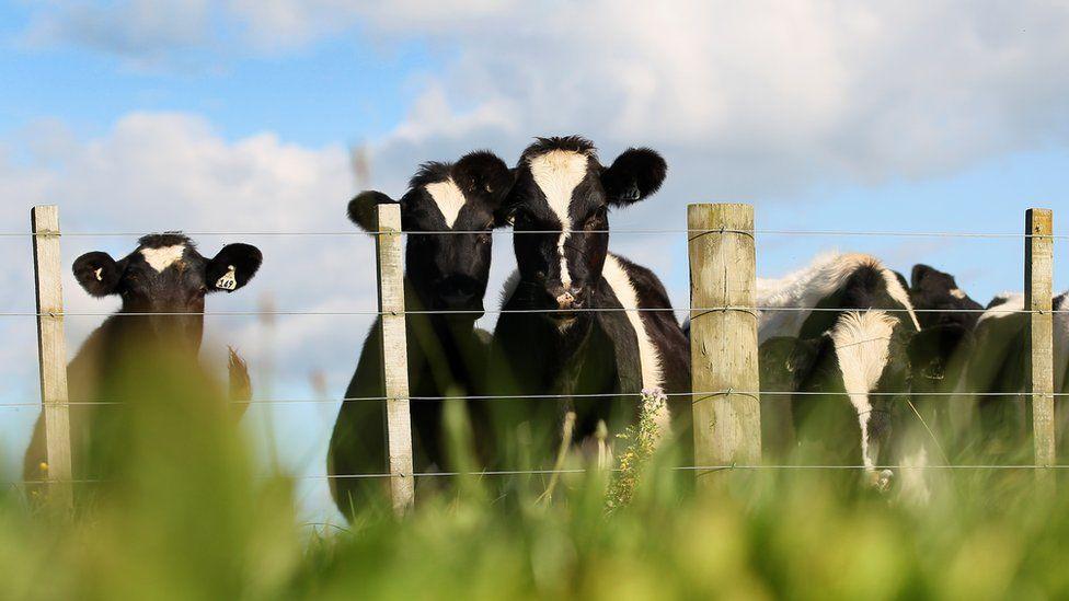 Cows on New Zealand farm