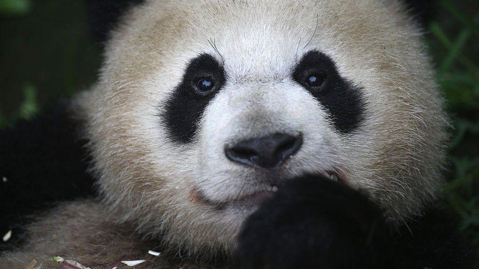 Giant panda eats bamboo at a panda research base on June 29, 2015 in Ya'an, China.