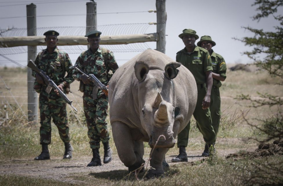 Armed rangers escort a northern white rhino