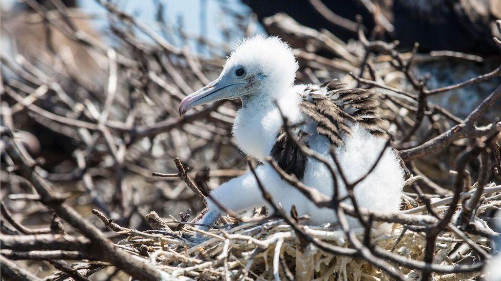 A frigatebird chick