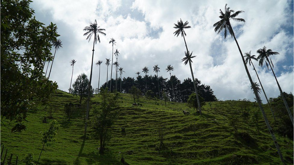 Cows graze among the wax palm trees in Corcora Valley