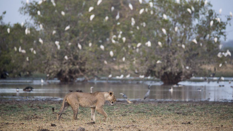 A lioness at the Zakouma National Park in Chad