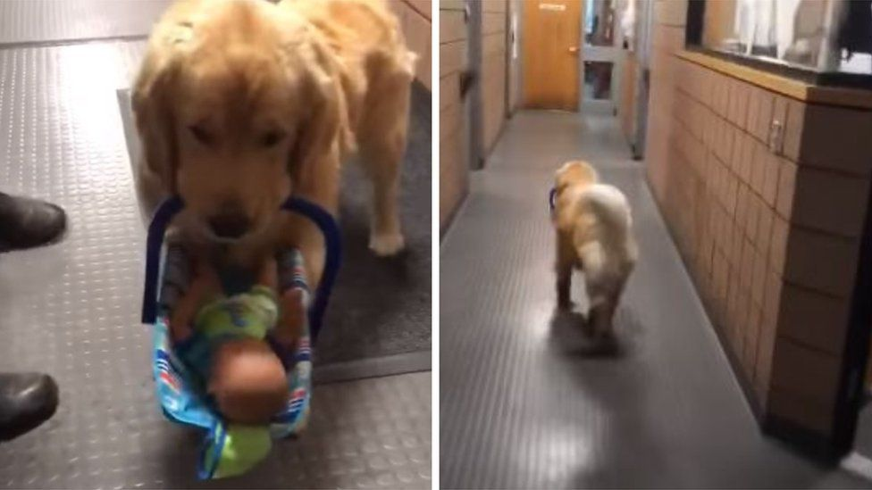Ben the dog carries toys to a desk