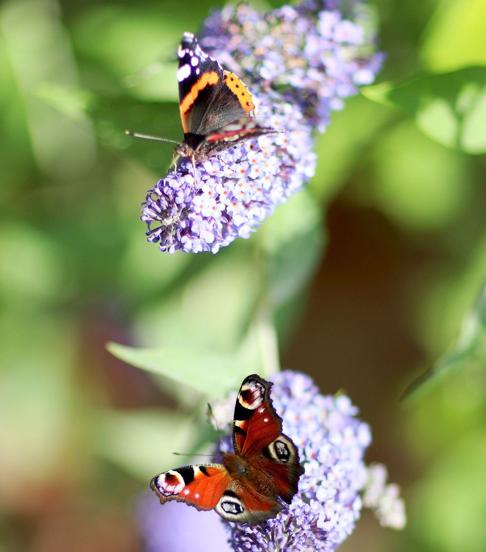 A Peacock butterfly and a Red Admiral on lilac flowers