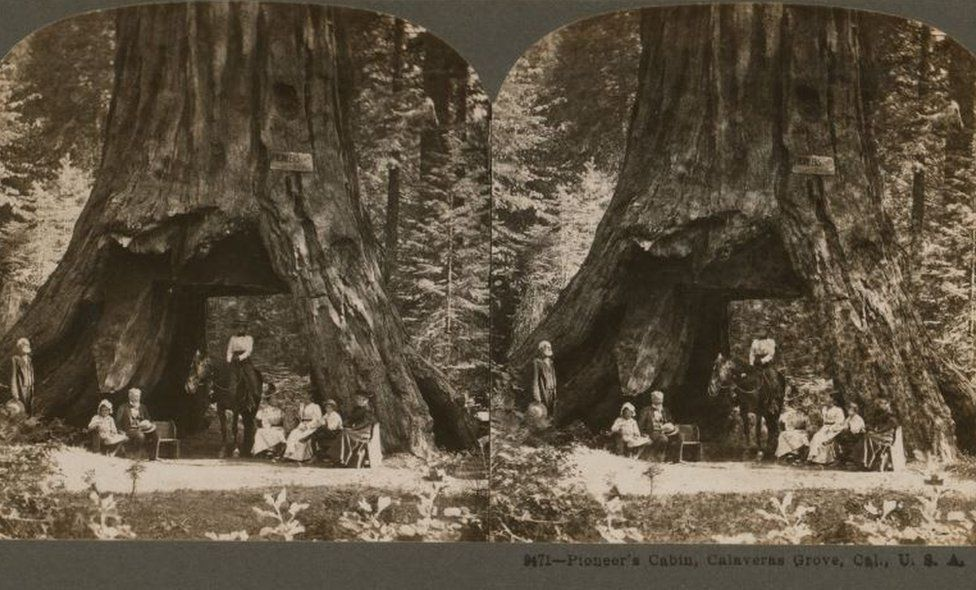 A 1899 stereograph shows the Pioneer Cabin tree