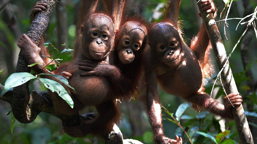 Orphaned baby orangutans