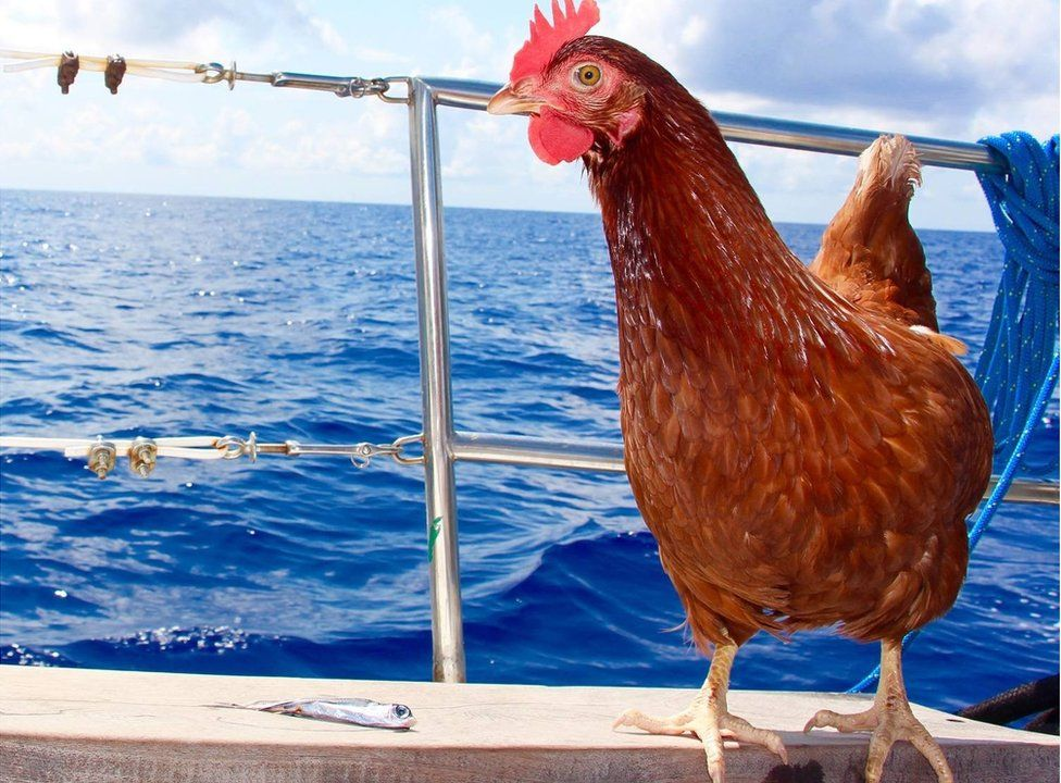 Monique the hen standing on the deck of a boat