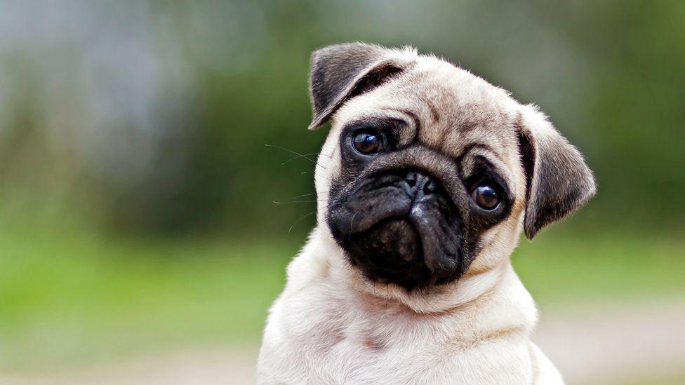 Cómo el rostro de los perros evolucionó para enternecer a los seres humanos