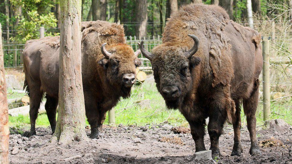 The herd of bison