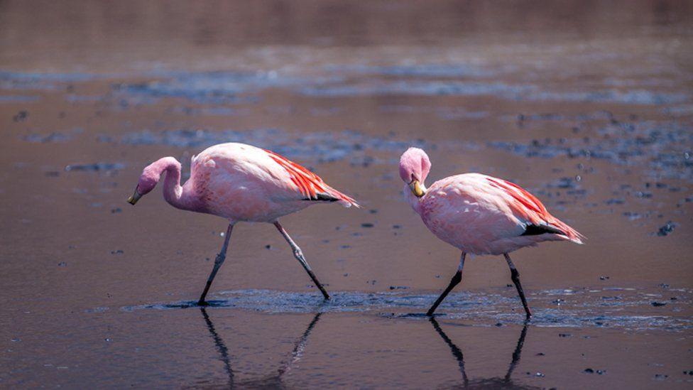Pink flamingos come to breed to the Uyuni salt flat