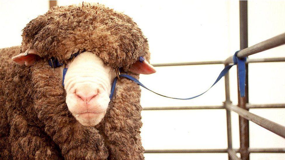 Sheep at the Australian Wool and Sheep Show in Bendigo