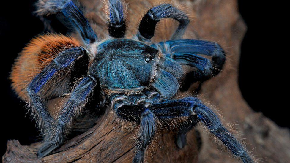 blue tarantula on a log