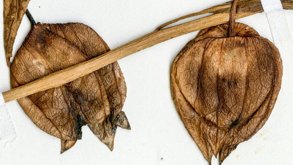 Dried fruit specimens of a modern coastal ground cherry from Florida