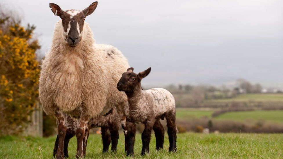 Welsh type mule ewe with suffolk lambs at foot