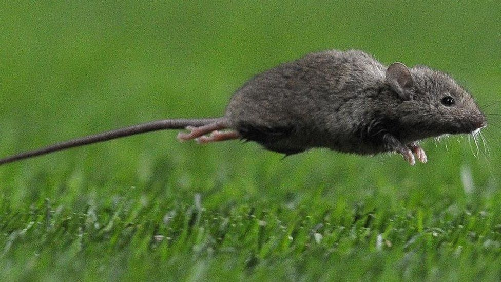A leaping mouse