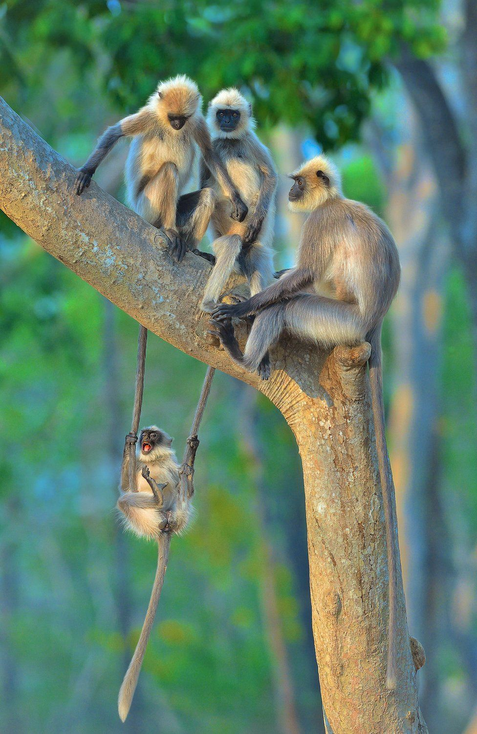 A monkey swinging on the tails of two other monkeys