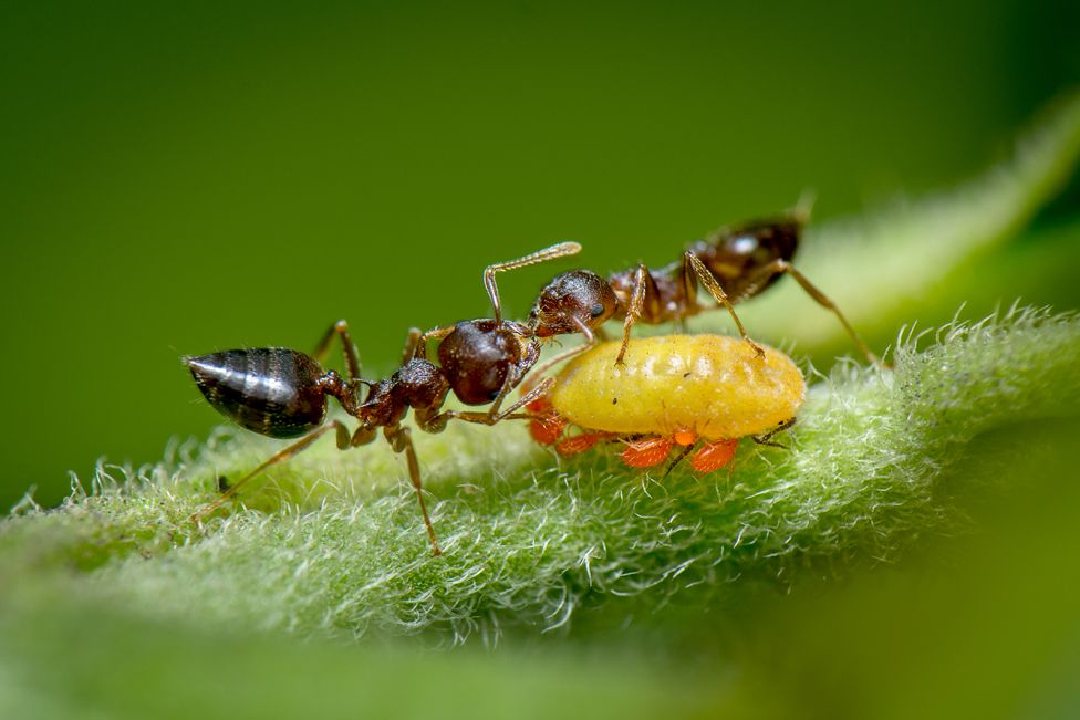 Ants feeding off honeydew excreted by a yellow aphid