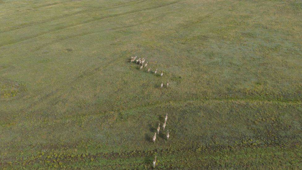 Aerial view on the herd of Transcaspian wild ass in the Tarutino steppe in Ukraine