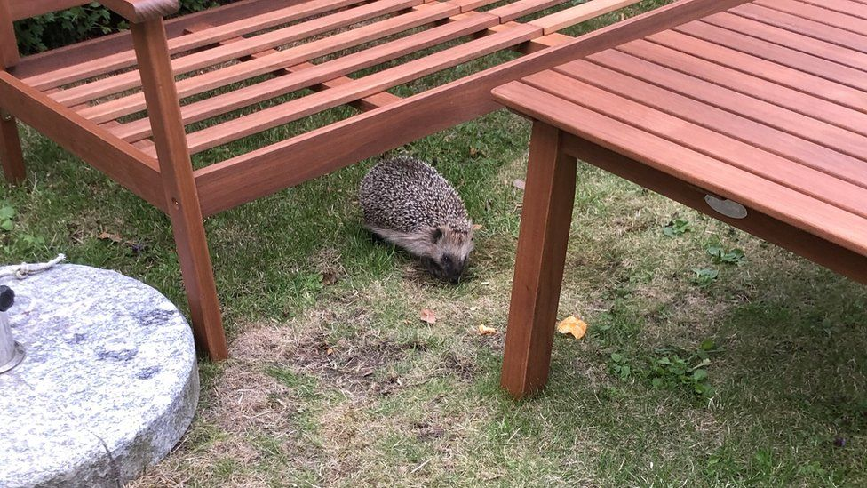 A hedgehog in the garden.