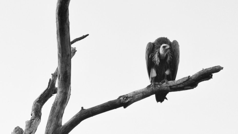 A vulture on a branch