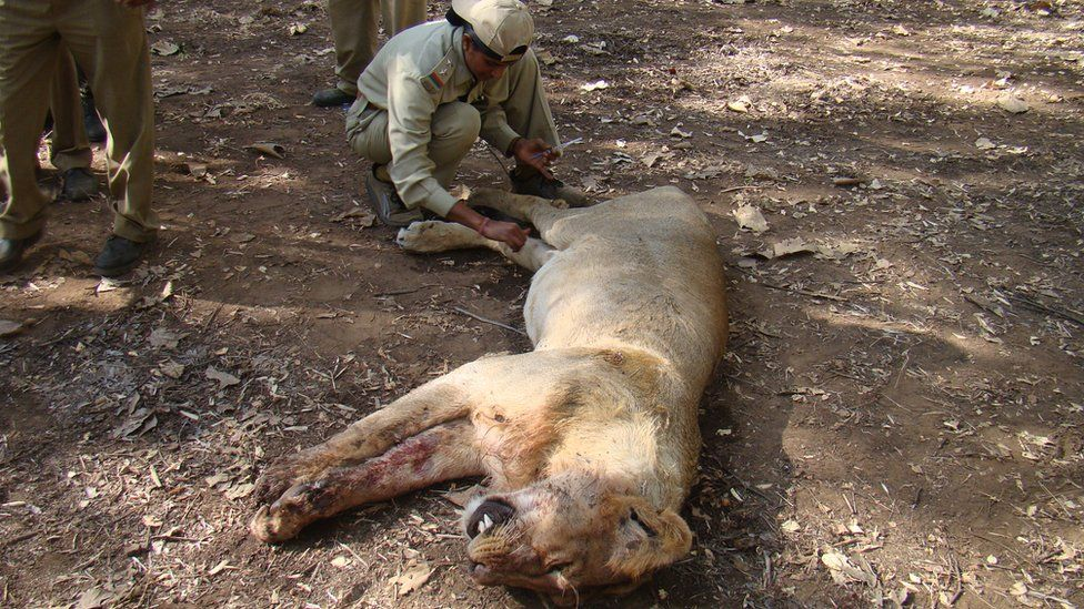 Rasila Vadher treating a lion